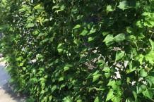 モロッコいんげんの緑のカーテン