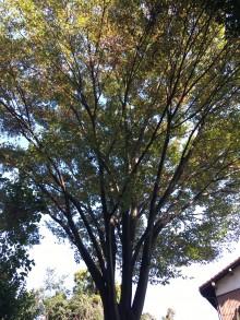 敷地の中央に位置するケヤキの大木