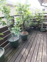 ウッドデッキには鉢植えの果樹が並びます。