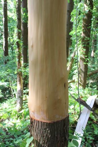皮をむきたての杉