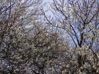 高尾梅の花