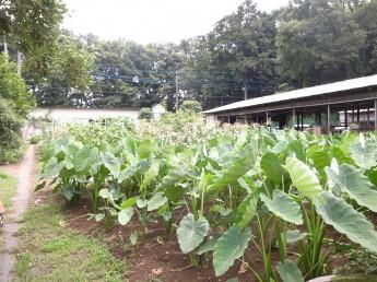 エナジー水を使用した畑。